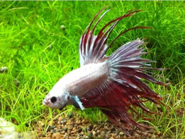 betta_splendens_var_crowntail_00.jpg